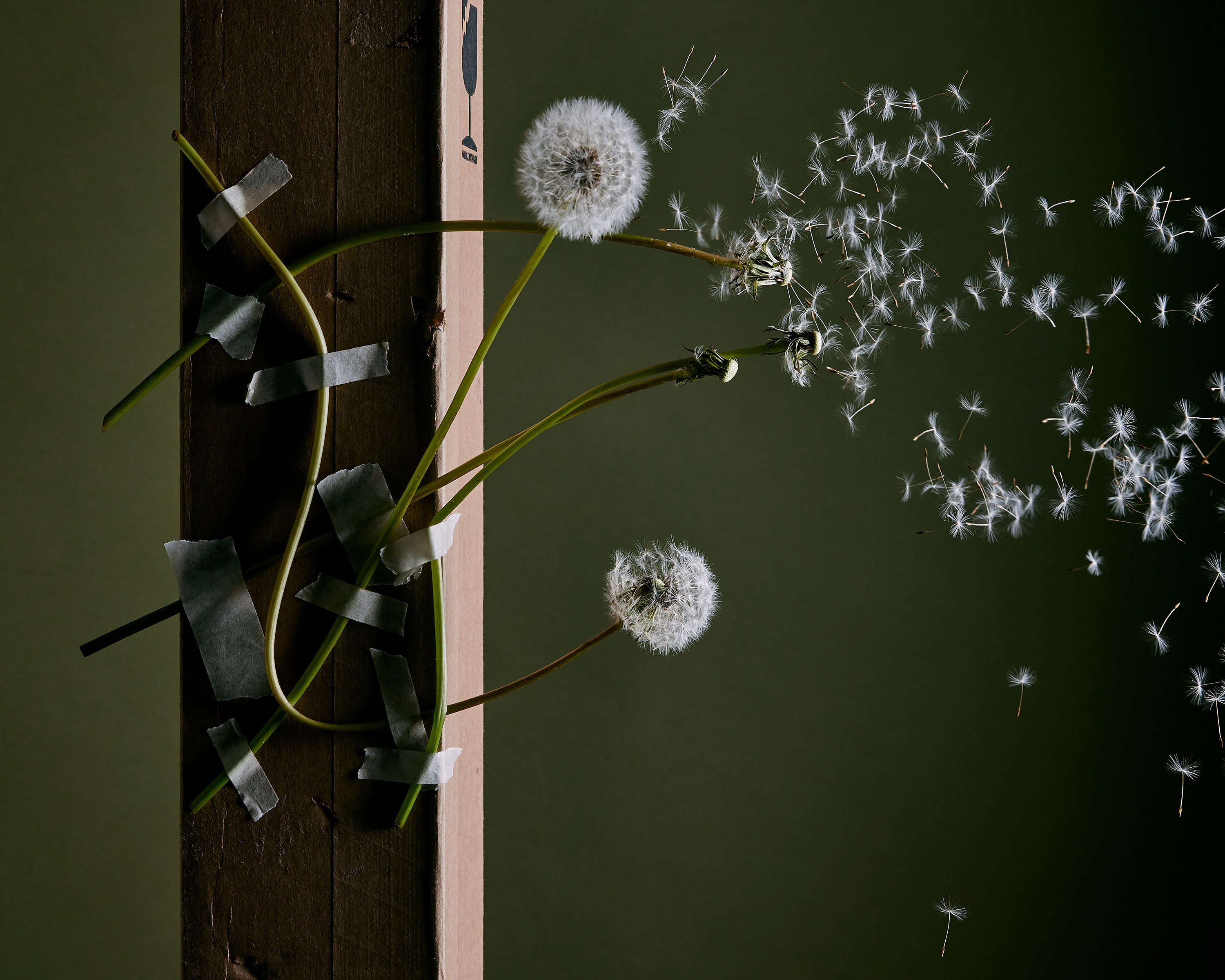 Rikki-Ward-Photographer_SHORT-LIVED_DANDELION_2